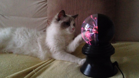 Cat completely mesmerized by plasma ball