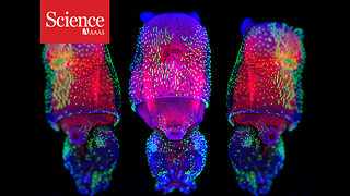 The momentous transition to multicellular life may not have been so hard after all - Video