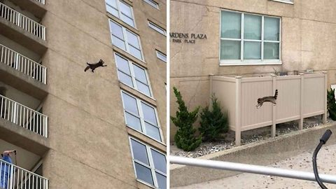 Daredevil raccoon leaps from apartment block and miraculously survives