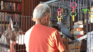 Great Dane Watches African Grey Parrot Give Kisses