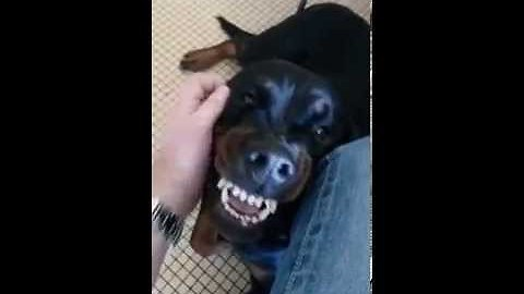 Dog likes rub but you wouldn't think it (Animals)