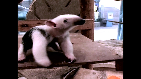 Cute Baby Anteater Finds Its Feet