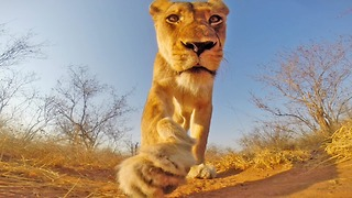Lioness Plays With GoPro In Greater Kruger National Park - Video