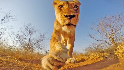 Lioness plays with GoPro in Greater Kruger National Park