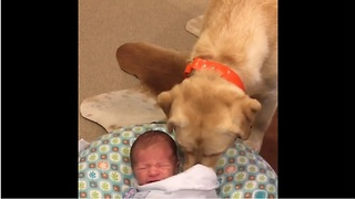 Labrador Stops Newborn Baby From Crying  - Video