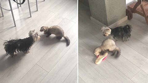Epic game of tag between ferret, Yorkie and pair of slippers