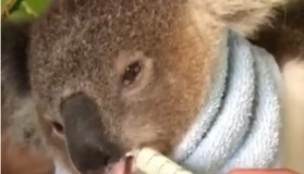 Koala Joey Fed With Syringe After Surviving Illness - Video