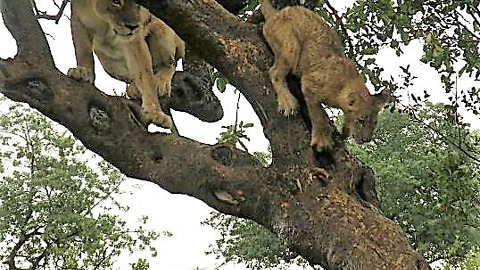 Lion family's amusing efforts getting out of tree