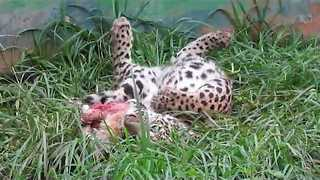 Adorable Jaguar Cub Enjoys Dinner Time - Video