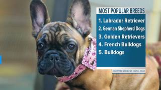 Most popular dog breeds - Video
