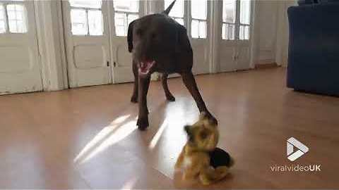 Curious Labrador Meets Flip Over Dog And Goes Full Attack Mode