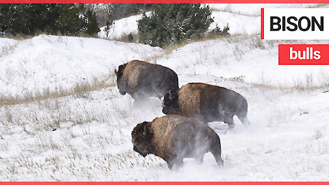 Four huge bison bulls were returned to an American plain for the first time in over 100 years