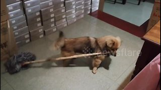 Hard-working puppy volunteers to help with housework - Video