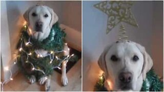 Labrador gets into the Christmas spirit
