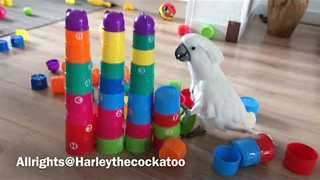 Harley the Cockatoo Leaves Path of Destruction - Video