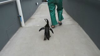 Rescued penguin goes for a walk around the rescue center