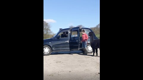 Guy Records Alpacas Getting Into Taxi