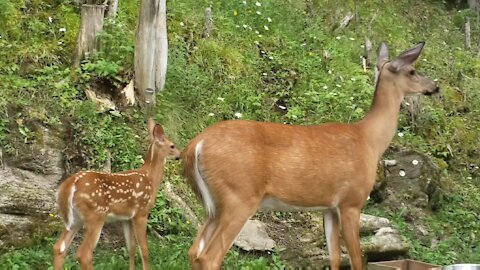 Big Mama and Her New Fawn