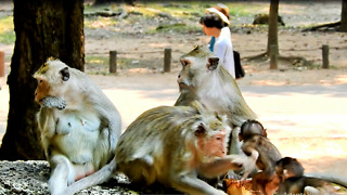 Baby Monkey Scare Of King Fighting And He Cry, King Just Go Down - Video