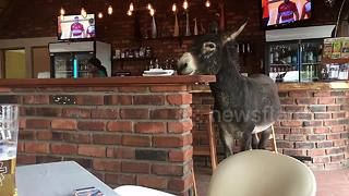 Donkey casually strolls around in local South African pub - Video