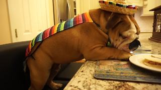 Festive English Bulldog devours tasty tacos
