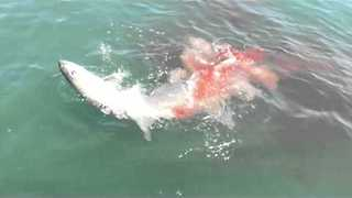 Fisherman Loses Catch of the Day To Bull Sharks - Video