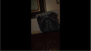 Pug scared of pug-faced pillow
