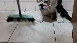 Rebellious bulldog refuses to move for broom - Video