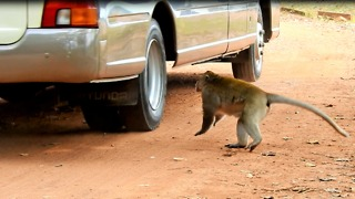 King Monkey Angry With Car And Want To Fighting Car  - Video