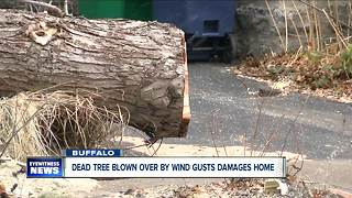 Dead trees in Buffalo knocked over by high winds - Video