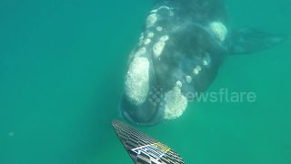 Aussie paddle boarder has extremely close encounter with whale - Video