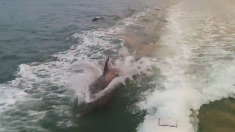 Dolphins surf behind boat in Florida
