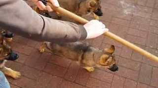 These Eight Puppies Are Absolutely Obsessed with a Broom - Video