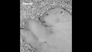 A Newborn Polar Cub Snuggles With Mom