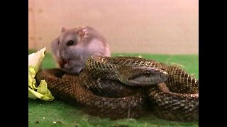 Snake Befriends Hamster - Video