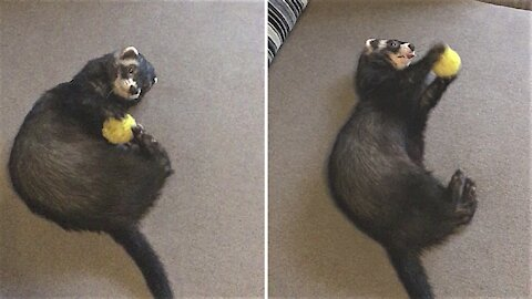 Frisky ferret has a blast playing with favorite toy ball