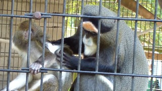 Nurturing monkey helps groom her youngster