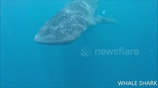 Tourists experience close encounter with whale shark - Video