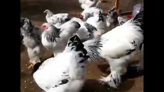Brahma Chickens Strut Their Stuff on the Farm - Video