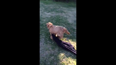 'Can I have my pants back?': Puppy races around backyard with owner's trousers
