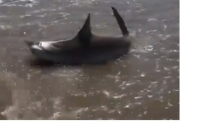 Man Catches and Releases Bull Shark on Texas Beach - Video