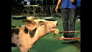 Pigs Perform Tricks - Video