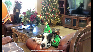Festive Funny Great Danes And Cat Relax By The Christmas Tree