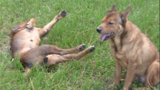 Incredible recovery for two dogs beaten down by abuse - Video