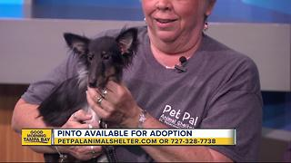 Pet of the week: Pinto is a sweet 7-month-old Sheltie mix who needs a 'fur-ever' family - Video