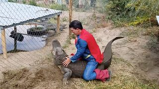 Daring individual dressed as superman raids alligator nest for eggs - Video