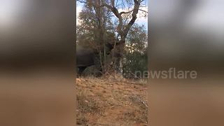 Who needs a bulldozer when you can get an elephant to knock down a tree?