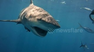 Diver comes face-to-face with hungry bull sharks - Video
