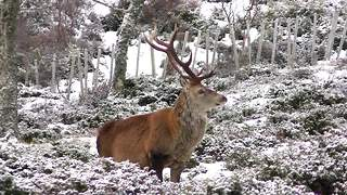 Winter wonderland ! Beautiful red deer herds in snowy Scottish highlands - Video