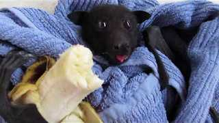 Baby Bat Uses Foot to Hold Banana at Snack Time - Video